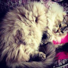 #flanelle #ragdoll #cat