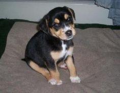 Nicolas is an adoptable Australian Shepherd Dog in Montello, WI.