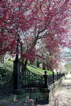 Marietta Spring - Apple Tree and Wrought Iron Fence