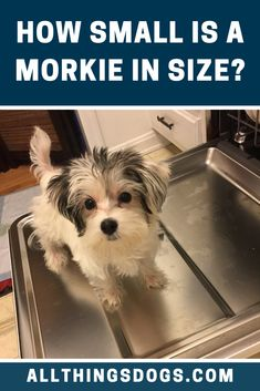 The Morkie size can be defined as tiny and petite. You can expect a Morkie to stand at around 6 to 10 inches at the shoulder. At a healthy weight, they will be between 4-12lbs. Read on to learn more about their size and appearance.  #morkie #morkiesize #malteseyorkiemix Dog Breeds That Dont Shed, Cute Dogs Breeds, Maltese Yorkie Mix, Miniature Dog Breeds, Lap Dogs, Yorkshire Terrier, Healthy Weight, Dog Stuff, Small Dogs