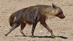Cool Critters — Brown hyena (Hyaena brunnea) The brown hyena is a...
