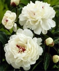 Peony Festiva Maxima - Frilly creamy white blossoms have splashes of crimson peeking through. 'Festiva Maxima' produces an extravagant garden display early in the season. Peony Flower, Flower Beds, My Flower, Dahlia, Peony Plant, White Peonies, White Flowers, Beautiful Flowers, Bulb Flowers