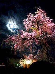 Weeping sakura tree at Maruyama Park, Kyoto, Japan
