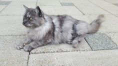 Maine Coon classic type