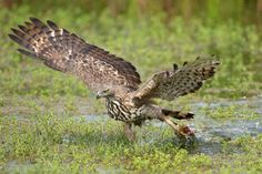 Photograph Changeable Hawk-eagle by Milan Zygmunt on 500px