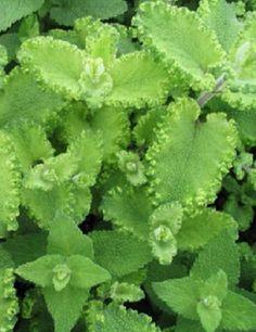 Teucrium scorodonia 'Crispum Marginatum'