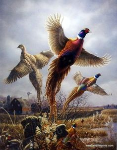A great image of two male and a female pheasant flushing out of the cornfields.