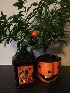 Pyntechilien står så fint i sin halloween-skjuler. Chilien er fra sidste år, så det er dens anden halloween, og den er kun kønnere i år.