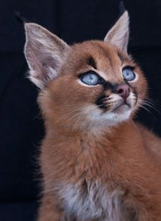 Baby Caracals - Caracals live in Africa, the Middle East and The Indian subcontinent. Adults can weigh as much as 18kgs (40lbs), they can run at speeds of up to 50mph
