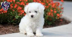 Keystone Puppies has a puppy finder feature setting you up to find and buy a dog perfect for your home. Bichon Puppies For Sale, Dogs For Sale, Puppy Finder, Buy A Dog, Cuddling, Bichons, Cutest Puppy, Pets, Animals