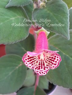 MY KOHLERIA Exotic Flowers, Perennials, Shapes, Rose, Violets, African, Manga, Crochet Flowers, Vestidos