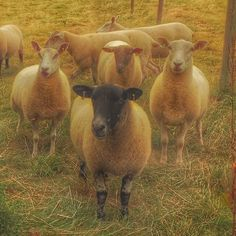 More sheep. Where do they keep coming from? #sheep #lamb #farming #farm #gloucestershire #fields