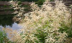 Aruncus dioicus 'Zweiweltenkind'.  Predictable but might be the right texture somewhere.