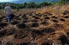 Dirceu caminha sobre lavoura de mandioca:imagem 24