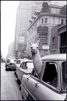 Love this 1957 vintage pic of Llama in Times Square.  Only in New York, kids... Only in New York.
