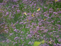 Goldfinches love this verbena growing at Fernrock Farm.