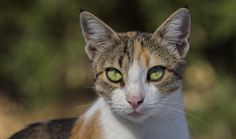 AEGEAN CAT BREED  Native to the Greek islands, Aegean Cats are natural cats, meaning they developed without humans getting involved in their breeding.