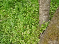 Miner's Lettuce Next to Tree,  © B. Radisavljevic