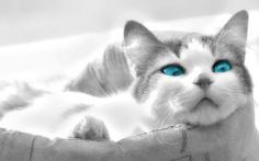 Cats with dark blue eyes were discovered in New Mexico among feral cat populations. Description from petpaw.com.au. I searched for this on bing.com/images