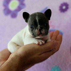 Tea-Cup Frenchie