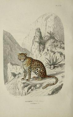1855 Antique LEOPARD PRINT by AntiquePrintsOnly