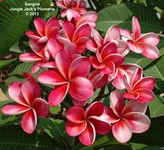 Sangria: A highly compact striated pink plumeria. Slow growing but more than worth the wait.