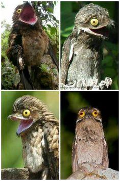 The Potoo Bird is Pure Derp - AnimalsBeingDerps Beautiful Birds, Animals Beautiful, Great Potoo, Potoo Bird, Weird Birds, Creature Picture, Funny Animals, Cute Animals, Little Poney