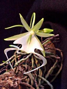 Its easy identifying orchids when they look like the Ghost Orchids.