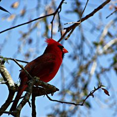 Wordless Wednesday Four images of beautiful red cardinals https://goo.gl/JpdRhs  #wordlessonwedesday #wordlesswednesday #photography