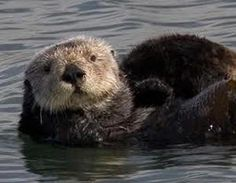 Otters awaken curiosity.  They remind us that everything is interesting   if we look at it from the right angle.