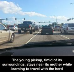 The #young #pickup #timid of its #surroundings stays #near its #mother while #traveling with the #herd #LetsGetWordy