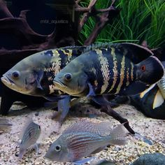 How To Choose A Tropical Fish Aquarium The first decision you must make when you buy an aquarium is whether you plan to keep freshwater fish or saltwater Aquarium Set, Tropical Fish Aquarium, Live Aquarium Plants, Aquarium Ideas, Saltwater Tank Setup, Saltwater Aquarium, Cichlid Aquarium, Fish Aquariums, Freshwater Aquarium Plants