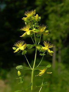 Särmäkuisma, Hypericum maculatum - Kukkakasvit - LuontoPortti