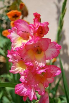 Gladiola attracts hummingbirds and butterflies - mine are sprouting already!
