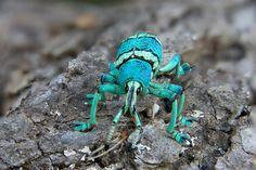 Blue green snout weevil (Eupholus schoenherri), Papua New Guinea (c) Jim Zuckerman