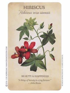 Hibiscus meaning Botanical Inspirations Oracle Deck de Lynn Araujo Illustration Blume, Botanical Illustration, Botanical Flowers, Botanical Prints, Hibiscus Rosa Sinensis, Flower Meanings, Symbols And Meanings, Bloom, Flower Names