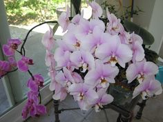 How to water and fertilize orchids in order to get them to rebloom quickly. One of mine hasn't bloomed in nineteen months! Outdoor Plants, Garden Plants, House Plants, Growing Orchids, Growing Plants, Love Flowers, Beautiful Flowers, Orchid Plants, Orchid Care