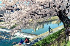Cherry Blossom in Kamogawa | Photo taken in Kyoto, Japan | Flickr