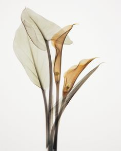 Calla Two by Albert Koetsier. Fine Art Canvas by InGallery.com