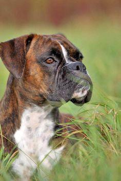 Boxer enjoying a run in the meadow