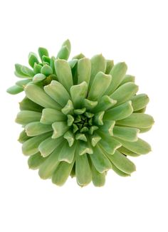 Echeveria 'Irish Mint', forms rosettes of mint green, upswept tubular leaves. Profuse bouquets of larger golden orange flowers. In habitat, many Echeverias grow on rocky out croppings at higher altitudes. …