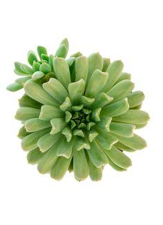 Echeveria 'Irish Mint', forms rosettes of mint green, upswept tubular leaves.