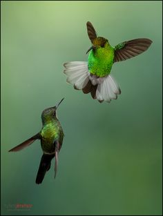 ~~Coppery-headed Emerald (Elvira cupreiceps) fighting for territory ~ and Green Thorntail (Discosura conversii) hummingbird by Chris Jimenez Nature Photo~~