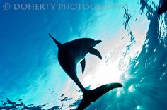 Spotted Dolphin Grand Bahama I was free diving with this juvenile spotted dolphin as he swam over me on his way to the surface for a breath of air. *Different sizes have been cropped from the original