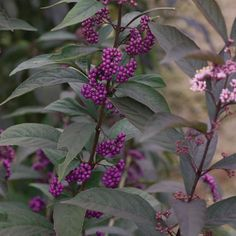 This Beautyberry lives up to its name - and this new variety, Purple Pearls, may be the fairest of them all! Pink flowers are followed by amethyst colored berries and smoky purple foliage carries the plant all season long. Narrow upright habit makes it the perfect addition to your perennial borders!