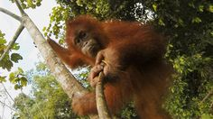 Peter Pratje, of the Frankfurt Zoological Society, introduces us to our orangutan family and reveals how we, as individuals, can help prevent their imminent extinction.
