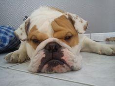 "♥ ""Mom said NO - I disagree!"" ♥ Photo from I Love English Bulldogs"
