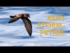 The Ashy Storm-Petrel comes to land only to breed, traveling to and from its colonies under the cover of night. Environmental Issues, Habitats, Wildlife, Traveling, Night, Cover, Movie Posters, Animals, Viajes