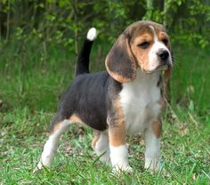 Beagle Pup ~ Classic Look