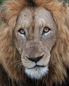 African Lion - photo by Gavin Emmons, via Flickr;  Kruger National Park, South Africa